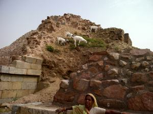 Goats climb the mighty walls of Tughlakabad  Fort