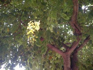 Amaltas Lane is Blooming Again