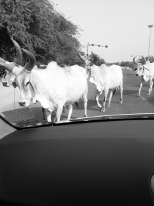 Everyone waits patiently as cows saunter across the highway looking for greenerr pasture. The Hindu respect for cows is inbuilt as in agrarian society a cow is treated as a member of the family because it supplies precious milk for everyone.