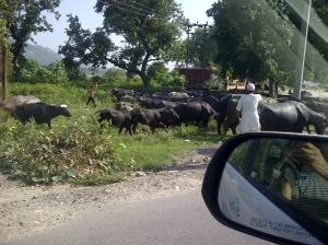 Buffalo Herder
